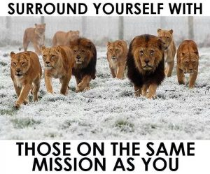 Lions fight together
